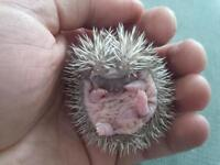 Baby Hedgehogs! Rare colors, very tame & home raised!
