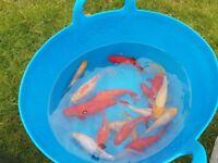 Goldfish for sale.