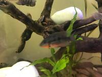 Firemouth chiclids for sale