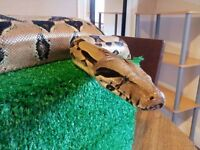 8ft Boa Constrictor Female Snake including large vivarium £200 ono