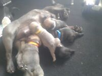 5 beautiful french bulldog puppies looking for there 4eva loving homes 2bitches 3dogs *3weeks old