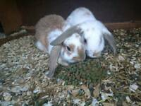 French loop baby rabbits looking for a new home