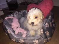 Beautiful cavachon girl pup