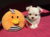 Kennel Club Reg MALTESE PUPPIES Available