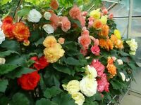 Begonias Named Exhibition Plants