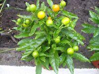 12 INCH HEALTHY SOLANUM HOUSE PLANTS