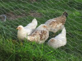 Four White and Speckled POL HENS for sale 20 wks old Nr Launceston
