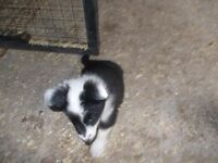 border collie pups,,both parents can be seen microchipped and health checked ..