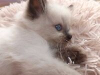 Gorgeous Female Ragdoll Kittens last one Ready Now