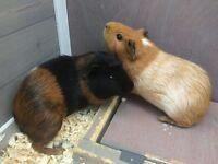 GUINEA PIGS - LUNA & LOLA
