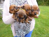Dachshund Miniature Smooth Shaded Red Puppies