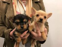 Chihuahua x Yorkshire terrier puppy's
