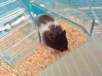 long haired male hamster