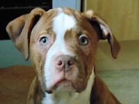 Alapaha Blueblood Bulldog Puppie