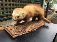 Taxidermy Weasel / Stoat - Good Condition