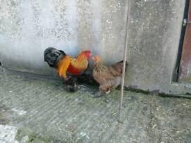 Gold brahma chicken pair