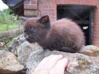 9 weeks old fluffy brown/black girl. flead and wormed