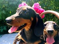 Adorable miniature Black and Tan dachshund puppies