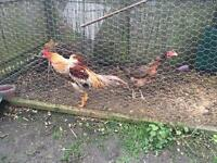 Asil chicks for sale