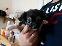 3 chihuahua for sale