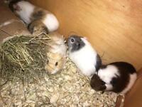 Baby guineapig