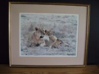Midday Sun by Simon Combes. Limited edition signed print of Lioness and Cubs. Print No. 678 of 850