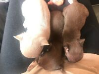 5 tea cup Chihuahuas for sale