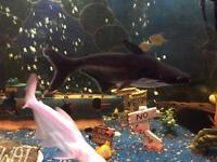 Large Pengasius Tropical Fish