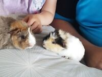 2 female guninea pigs and cage