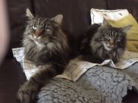 MAINE COON MALE FULL PEDIGREE WITH PAPERS