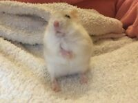 Male hamster