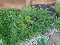 Garden plant with white flowers