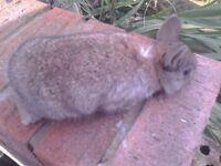 2 purebred netherland dwarf bunnies