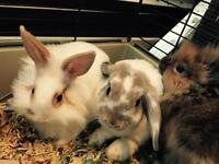 Beautiful Pet Bunnies! Holland Lops and Lionheads!