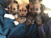 Beautiful healthy lhasas apso puppies