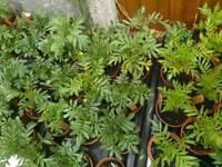 Plant bundle 60 plants please see list of what's Inc