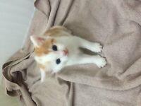 Maine Coon Cross Kitten NOW SOLD