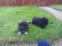 Schnauzer puppies for sale, microchipped vet checked with all injections.
