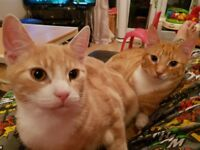 X2 6 month old boy kittens - brothers - ginger/sandy colours