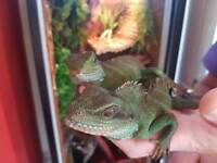 Pair of chinese water dragons with bespoke enclosure