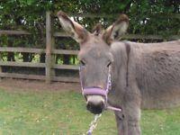 Female Grey Donkey
