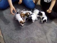 6 chihauhau x jackawawa puppies