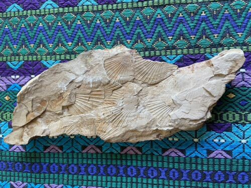 """Large Fossil Scalloped Shells Clams on Both Sides! 10"""" x 4"""""""