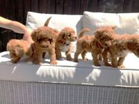 Red Poochon Puppies - Available 29-06