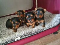 Yorkshire terrier puppies4sale