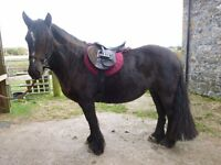 Kind and Genuine 14.2hh 10 yo Mare