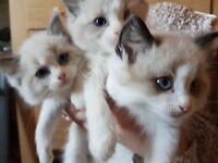 3 beautiful ragdoll kittens