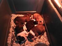 Small boston terrier pups for sale soon