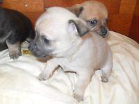 Miniature Jack Russell X Chihuahua (Boy)