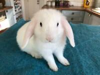White Lop Baby Bunny (male)